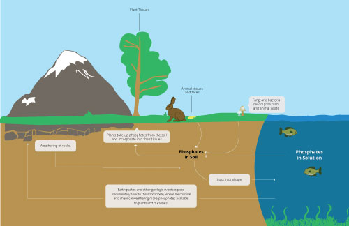 The Phosphorus Cycle | Earth Science | Visionlearning
