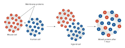 Hybrid cell experiment