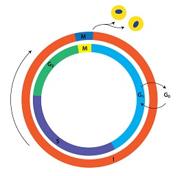 cell cycle lengths