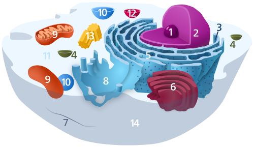 Cytosol animal cell