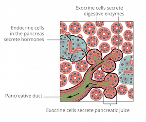 Endocrine and exocrine cells