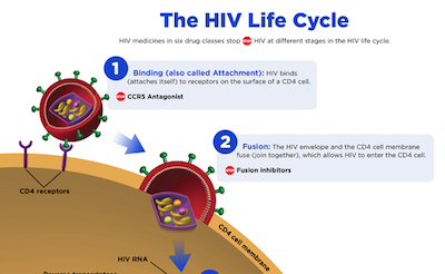 HIV lifecycle