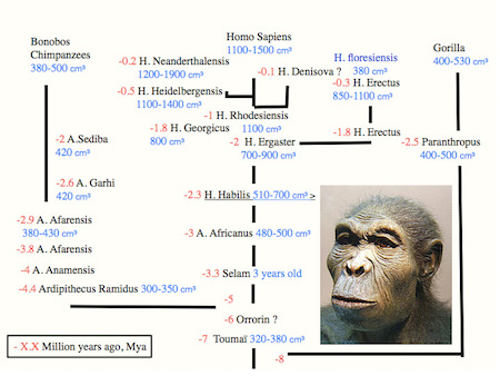 Evolution of brain volume in Homininae