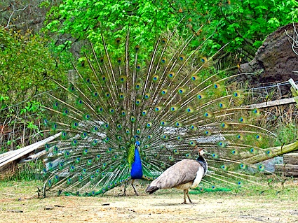 Peacock courting a mate