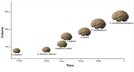 Human brain size evolution