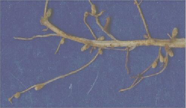 Root Nodules (Small)